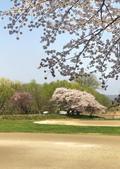 弘前公園 櫻花祭 花見:4AA61923-19F2-4E66-A379-F5FD0CFD1F55_調整大小.jpg