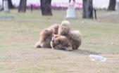 大型貴賓犬:DSC_8733_調整大小.JPG