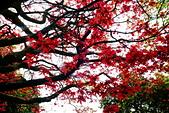 陽金公路的 紅槭:DSC_0067_調整大小.JPG