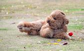 大型貴賓犬:DSC_8781_調整大小.JPG
