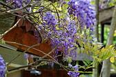 粗坑窯 紫藤:DSC_9690_調整大小.JPG