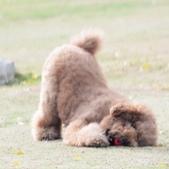 大型貴賓犬:相簿封面
