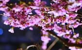 內湖 櫻花 2020:DSC_0491_調整大小.JPG