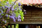 粗坑窯 紫藤:DSC_9807_調整大小.JPG