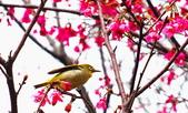櫻花上的綠繡眼: