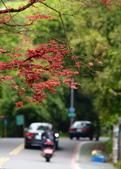 陽金公路的 紅槭:DSC_0186_調整大小.JPG