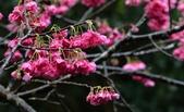 陽明山 後山公園 櫻花:DSC_0019.jpg