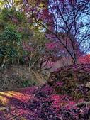 白毛台山  櫻花:IMG_20210213_092043_調整大小.jpg