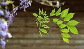 粗坑窯 紫藤:DSC_9837_調整大小.JPG