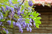 粗坑窯 紫藤:DSC_9839_調整大小.JPG