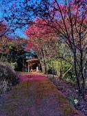 白毛台山  櫻花:IMG_20210213_092602_調整大小.jpg