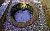 粗坑窯 紫藤:IMG_20210319_115707_調整大小.jpg