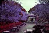 陽明山 後山公園 櫻花:DSC_0076.jpg