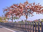 三月櫻~熱力綻放 花旗木:IMG_20200327_084814_調整大小.jpg