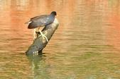 七股水鳥:_DSC0073.JPG