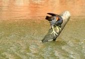 七股水鳥:_DSC0074.JPG