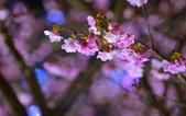 內湖 櫻花 2020:DSC_0496_調整大小.JPG