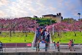 內湖 櫻花 2020:DSC_0851_調整大小.JPG