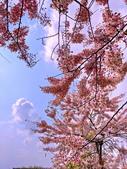 2020 與春天有約 三月 花旗木:IMG_20200327_090450_調整大小.jpg