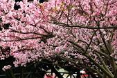 陽明山 櫻花+1:DSC_0001_調整大小.JPG