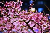 內湖 櫻花 2020:DSC_0502_調整大小.JPG