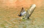 七股水鳥:_DSC0078.JPG