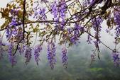 紫籐霧雨:DSC_5888_調整大小.JPG