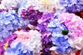 繡球花ˊ習拍:DSC_0118_調整大小.JPG