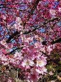 白毛台山  櫻花:IMG_20210213_094614_調整大小.jpg