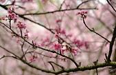 陽明山 櫻花+1:DSC_0053_調整大小.JPG