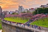 內湖 櫻花 2020:DSC_0831_調整大小.JPG