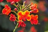 台南的花:_DSC0008.JPG