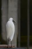 遇見 白鷺鷥:DSC_0130_調整大小.JPG
