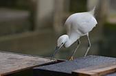 遇見 白鷺鷥:DSC_0132_調整大小.JPG