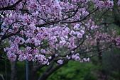 陽明山 櫻花+1:DSC_0287_調整大小.JPG