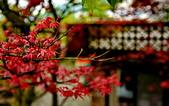 陽金公路的 紅槭:DSC_0088_調整大小.JPG