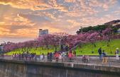 內湖 櫻花 2020:DSC_0847_調整大小.JPG