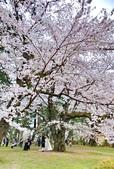 日本 平成時期的最後櫻花...2019:82F44017-DAEB-4ADD-8A6F-EA3C08A8AFBB_調整大小.jpg