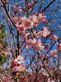 白毛台山  櫻花:IMG_20210213_090122_調整大小.jpg