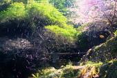 楓湖櫻花雪:DSC_9516_調整大小.JPG