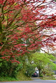 陽金公路的 紅槭:DSC_0244_調整大小.JPG