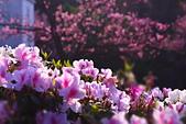 盛開繽紛 陽明山花季: