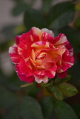 浪漫玫瑰花:DSC_0362_調整大小.JPG