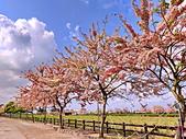三月櫻~熱力綻放 花旗木:IMG_20200327_092424_調整大小.jpg