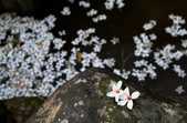 三芝 桐花祭: