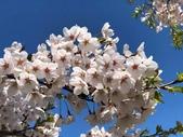 日本 平成時期的最後櫻花...2019 4月: