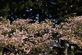 中正記念堂櫻花:DSC_0013_調整大小.JPG
