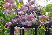 春色滿園 花旗木:DSC_0263_調整大小.JPG