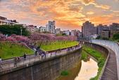 內湖 櫻花 2020:DSC_0826_調整大小.JPG