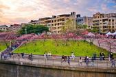 內湖 櫻花 2020:DSC_0827_調整大小.JPG